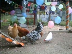 live hen camera