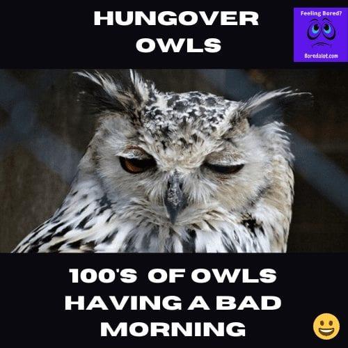 Hungover Owls