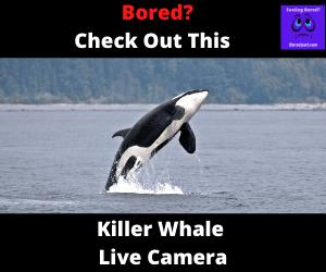 Killer Whale Live Cam